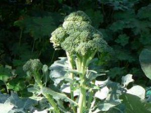 Sănătate: Broccoli pune cancerul pe fugă