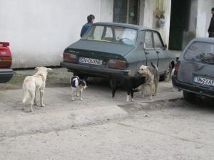 Peste 500 de câini vagabonzi, adunaţi de pe străzile Sucevei de angajaţii Primăriei, hoinăresc din nou pe străzi