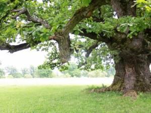 """Stejarul din Cajvana"""