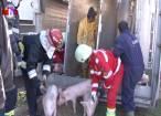 Oameni şi porci, scoşi din maşină cu echipajele de descarcerare