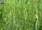Gheaţa a provocat pagube mari în zona Rădăuţi-Milişăuţi